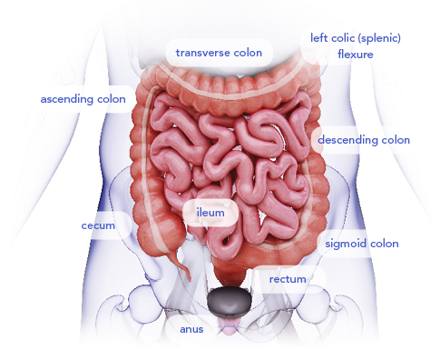 Diagram of the Lower Gastrointestinal Tract